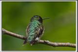 COLIBRI À GORGE RUBIS, mâle    /   RUBY-THROATED HUMMINGBIRD, male    _HP_4534