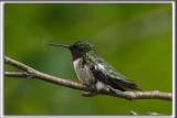 COLIBRI À GORGE RUBIS, mâle    /   RUBY-THROATED HUMMINGBIRD, male    _HP_4551