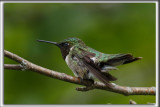 COLIBRI À GORGE RUBIS, mâle    /   RUBY-THROATED HUMMINGBIRD, male    _HP_4604