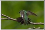 COLIBRI À GORGE RUBIS, mâle    /   RUBY-THROATED HUMMINGBIRD, male    _HP_4617