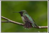 COLIBRI À GORGE RUBIS, mâle    /   RUBY-THROATED HUMMINGBIRD, male    _HP_4623