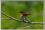 COLIBRI À GORGE RUBIS, mâle    /   RUBY-THROATED HUMMINGBIRD, male    _HP_4624