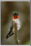 COLIBRI À GORGE RUBIS, mâle    /   RUBY-THROATED HUMMINGBIRD, male    _HP_4630