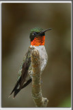 COLIBRI À GORGE RUBIS, mâle    /   RUBY-THROATED HUMMINGBIRD, male    _HP_4632