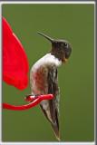 COLIBRI À GORGE RUBIS, mâle    /   RUBY-THROATED HUMMINGBIRD, male    _HP_4644