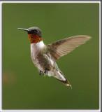 COLIBRI À GORGE RUBIS, mâle    /   RUBY-THROATED HUMMINGBIRD, male    _HP_4656
