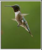 COLIBRI À GORGE RUBIS, mâle    /   RUBY-THROATED HUMMINGBIRD, male    _HP_4925