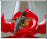 COLIBRI À GORGE RUBIS, mâle    /   RUBY-THROATED HUMMINGBIRD, male    _HP_4949