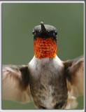 COLIBRI À GORGE RUBIS, mâle    /   RUBY-THROATED HUMMINGBIRD, male    _HP_4284
