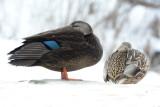 Black duck and hen mallard.JPG