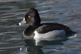 Ring neck duck (2).JPG