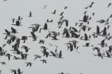 Flock of Specklebellies