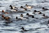 Flock of Goldeneyes