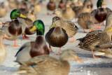 Black Duck in a crowd