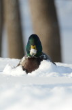Drake mallard in snow