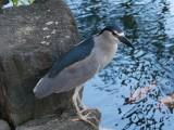 Heron Ohau