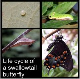 Life cycle of a Spicebush Swallowtail