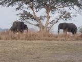 Elephants Under the Fig Tree