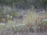 Early Eight in the Brush