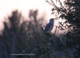 Great Gray Owl at dusk