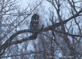 Great Gray Owl in Ottawa