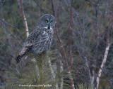 Great Gray Owl in snow flurries
