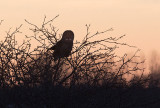 One of two great gray owls tonight