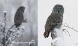 3 great gray owls tonite