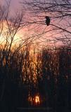 Great Gray Owl sunset