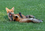 Young foxes at play