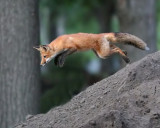 Leaping fox at ISO 16,000