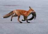 Young fox with squirrel