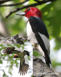 Red-headed Woodpeckers (Constance Bay)