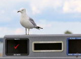 Gull passes multiple choice test with flying colours