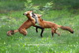 Dances with Foxes