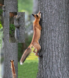 Fox climbs tree.  Fluffy squirrel is too tempting.