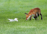 Fox and the Ring-billed Gull
