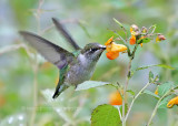 Ruby-throated hummingbird feeding on nectar of the jewel weed flower.