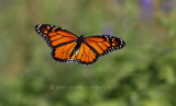 Monarch in the air.