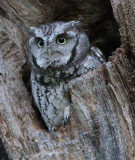 Eastern screech owl after sunset.  ISO 25,600 (Hi 1)