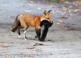 Fox with a fresh kill.