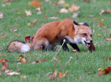 Fox eating a red squirrel