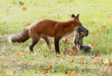 Guess what this fox is thankful for?