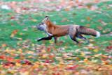 Fox on the run with rabbit leg