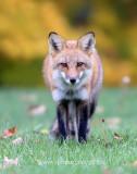 Red Fox in Ottawa