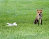 Fox and Gull