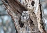 Eastern screech owl (Ottawa)