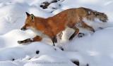 Fox negotiates way through snowy landscape.