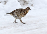 Ruffed Grouse and nude model shoot?