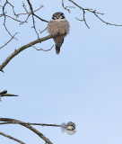 Owl and the Chickadee